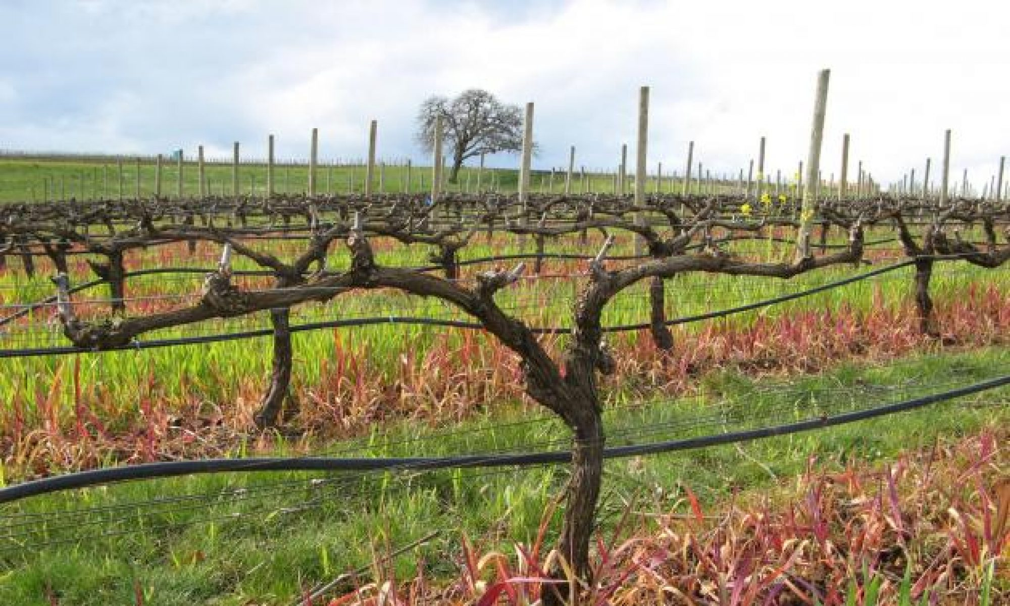 When Is The Right Time To Prune Grape Vines What Is The Best